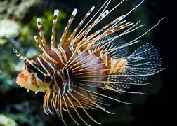 Lion Fish2