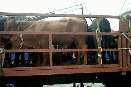 Cabinet Has Approved Guidelines For The Export Of Cattle. (Internet Photo)